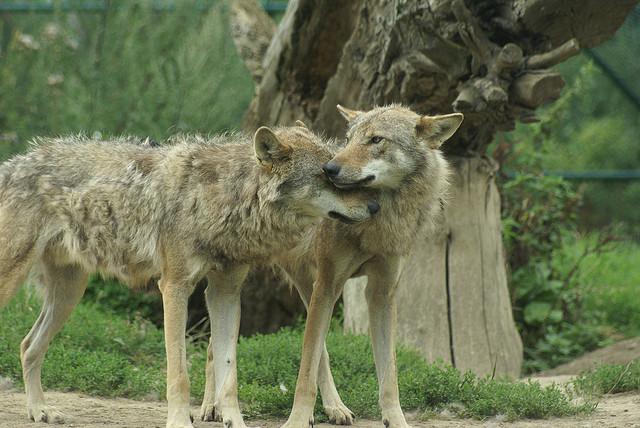 Wolf_dominance
