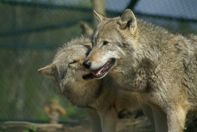 Wolf_submission2