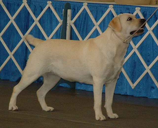 dicker Labrador