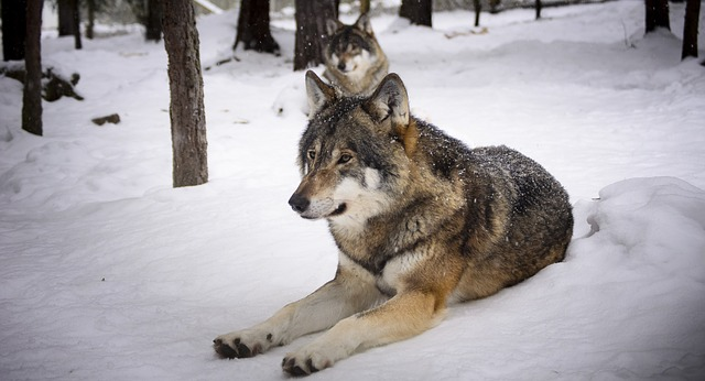 wolves-2058902_640
