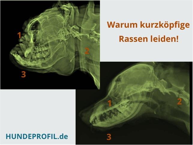 1_Röntgen Kurznase_Langnase
