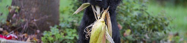 Hund mit Mais im Maul